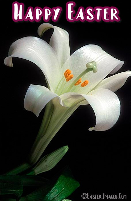 Images Of Easter Lily